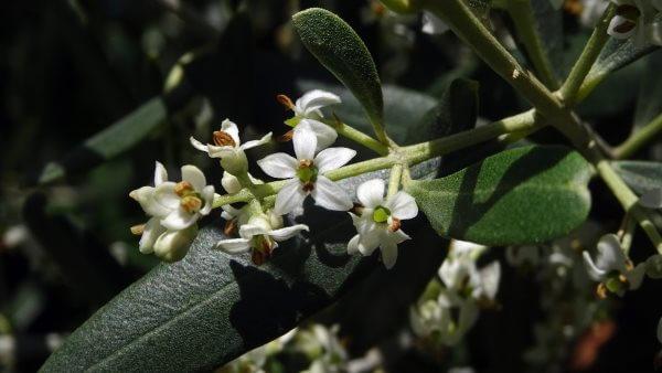 Фото: как цветет олива
