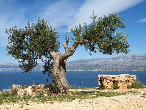 Фото: дерево старой оливы