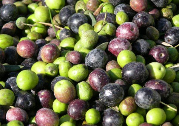 Фото: как выглядят свежие оливки