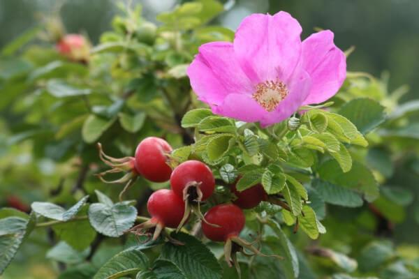 Фото: цветы и ягоды шиповника