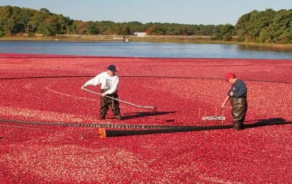 Фото: промышленный сбор урожая Клюквы