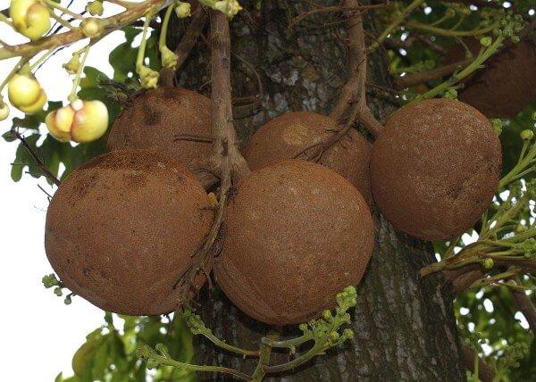 7 полезных свойств бразильского ореха для организма, противопоказания, а также состав и применение