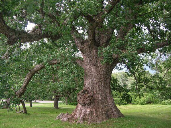 Дуб от 10 болезней- лечение желудями, листвой и дубовой корой