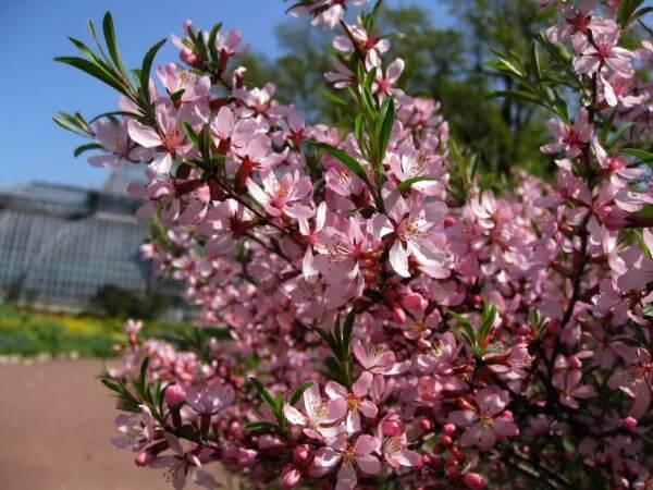 Фото: цветение Миндаля